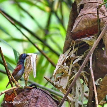 Chestnut-winged Babbler – nest building