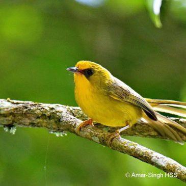 Golden Babbler in bird wave