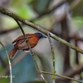 Grey-headed Babbler – calls and social organisation