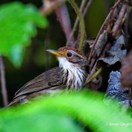 Puff-throated Babbler – call