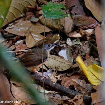 Short-tailed Babbler – call