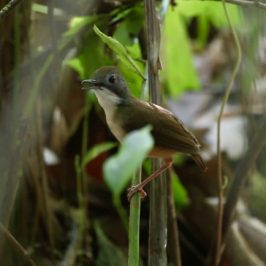 Haunting song of the Short-tailed Babbler