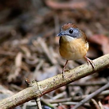 Resident Short-Tailed Babbler can really sing!