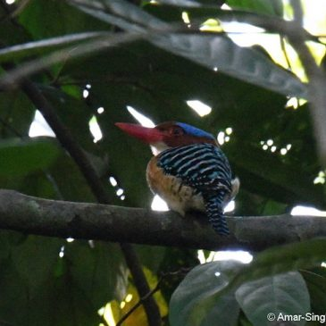 Banded Kingfisher – male, calls