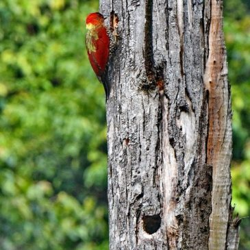 Banded Woodpecker – nest building