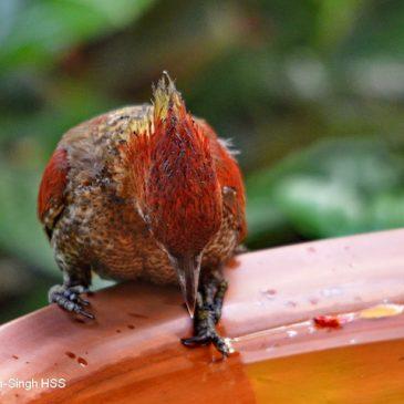 Banded Woodpecker – at bird bath
