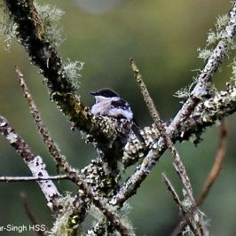Bar-winged Flycatcher-shrike – nesting