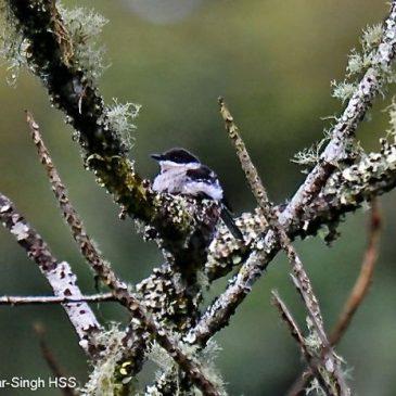 Bar-winged Flycatcher-shrike – nesting