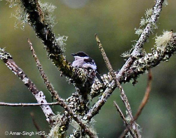 Bar-winged Flycatcher-shrike - nesting