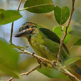 Blue-eared Barbet and <em>Ficus benjamina</em> figs