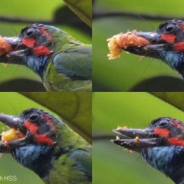 Ficus consociata: 5. Adult Blue-eared Barbet