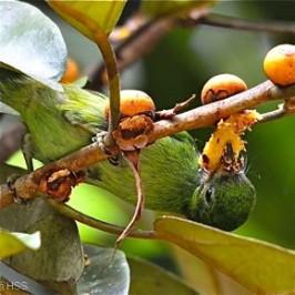 Ficus consociata: 4. Juvenile Blue-eared Barbet