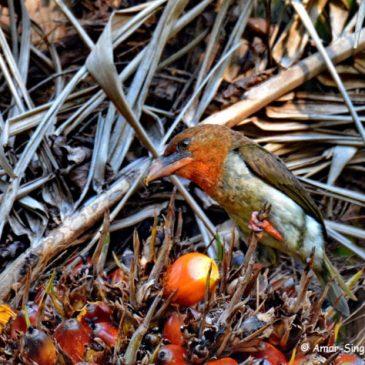Brown Barbet feeding on Oil Palm fruit