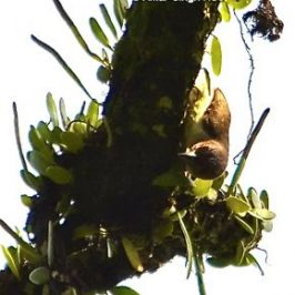 Brown Barbet – less commonly seen foraging method