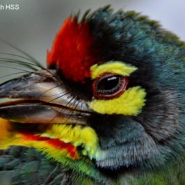 Coppersmith Barbet: Premature Delivery