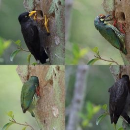 Coppersmith Barbet and Javan Myna at the nesting hole
