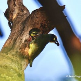 Coppersmith Barbet  – juvenile calls