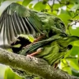 Coppersmith Barbet's courtship feeding