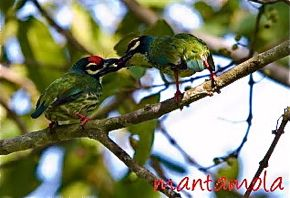 Courtship feeding in Coppersmith Barbet