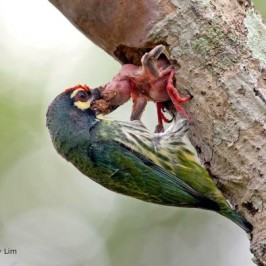 Coppersmith Barbet removing dead chick from nest