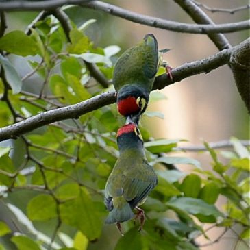 Coppersmith Barbets allobilling?