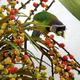 © Fire-tufted Barbet's date with MacArthur's Palm