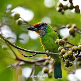 Golden-throated Barbet – food item