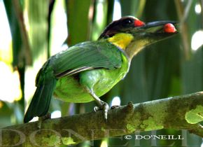© Courtship Feeding Behavior of Gold-Whiskered Barbet Pair