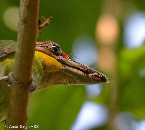 Gold-whiskered Barbet nesting (Part 2)
