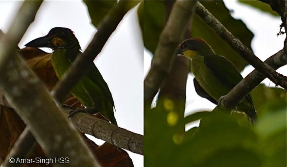 Gold-whiskered Barbet – courtship feeding?