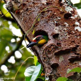 Gold-whiskered Barbet – nest