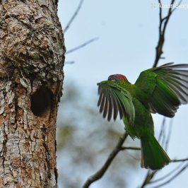 Gold-whiskered Barbet nesting