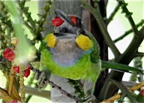 Gold-whiskered Barbet feeding on fruits and call