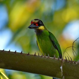 Gold-whiskered Barbet – close up view of crown