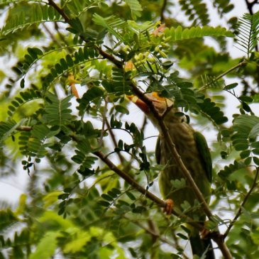 Lineated Barbet – new food source