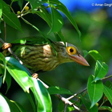 Lineated Barbet feeding on figs and papaya