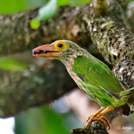 Lineated Barbet – food sources