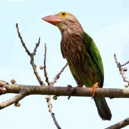 Lineated Barbet, Asian Glossy Starlings and Ceram Palm fruits