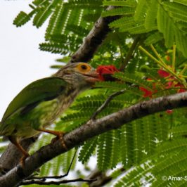 Why do Birds Eat Flowers? Lineated Barbet – new food source