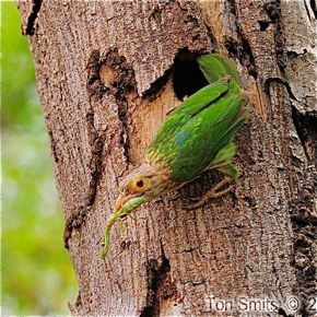 Lineated Barbet takes a praying mantis