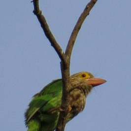LINEATED BARBET – PREENING AND STRETCHING