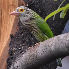 Lineated Barbet calling