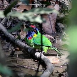 Red-crowned Barbet drinking
