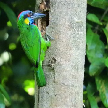 How I located a Red-crowned Barbet preparing a nesting cavity