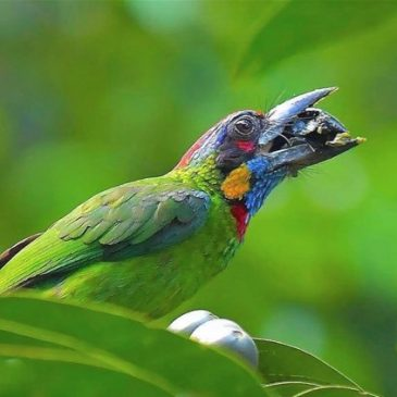 Red-crowned Barbet swallowing Canthium glabrum fruits