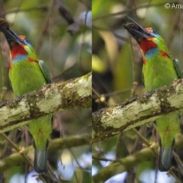 Male Red-throated Barbet with insect prey
