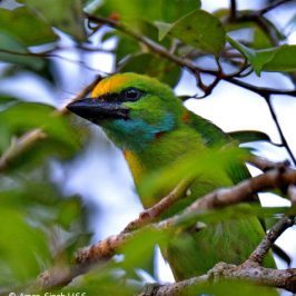 Yellow-crowned Barbet and <em>Ficus benjamina</em>