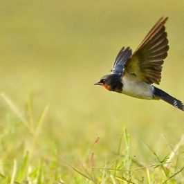 Barn Swallow Foraging Aquatic Prey
