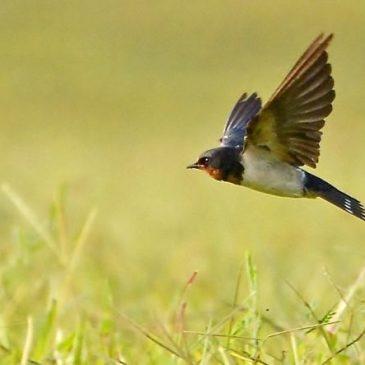 Barn Swallow Foraging Aquatic Prey