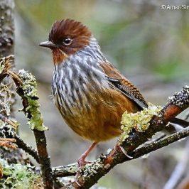 Birding in Taiwan: 8. Taiwan Barwing